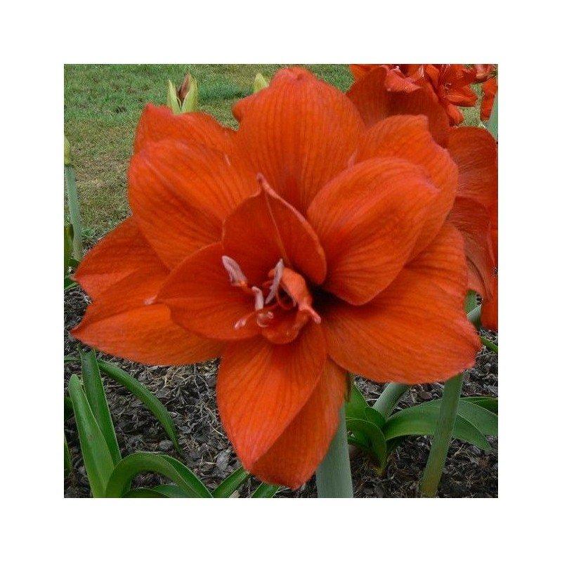 amaryllis-doble-naranja-1-ud.jpg