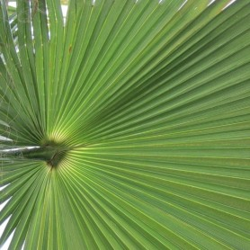 Washingtonia robusta cont
