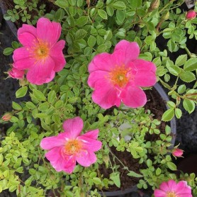 Rosa Pink Pins