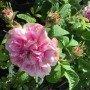 Rosa x damascena, Trigintipetala