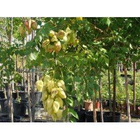 Semillas de koelruteria paniculata