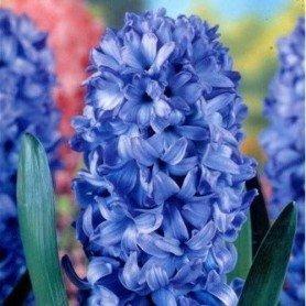 Jacinto Delfts Blue 3 ud