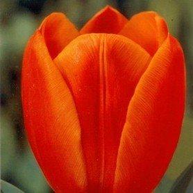 Tulipan Orange Cassini 8 ud
