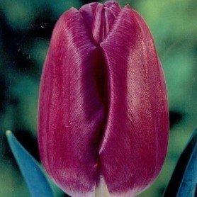 Tulipan Purple Prince 8 ud