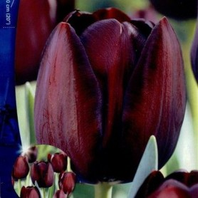 Tulipan Queen of Night 10 ud