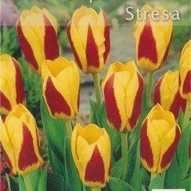 Bulbos. Tulipan Kaufmanniana Stresa