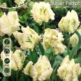 Tulipan Super Parrot 6 ud
