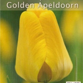 Tulipan Golden Apeldoorn 8 ud