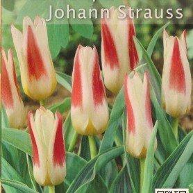 Tulipan Johann Strauss 8 ud