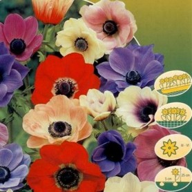 Anemona Coronaria de caen mixed 10 ud