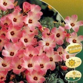 Oxalis adenophylla 10 ud
