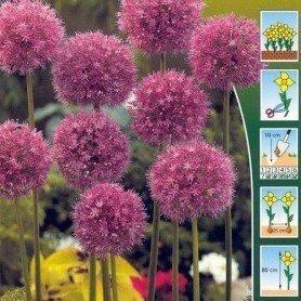 Allium Aflatunense 3 ud