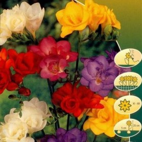 Freesia Double Mixed 10 ud