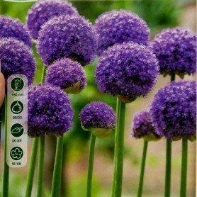 Allium Giganteum 1 ud