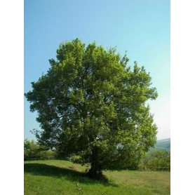 Semillas de Acer campestres