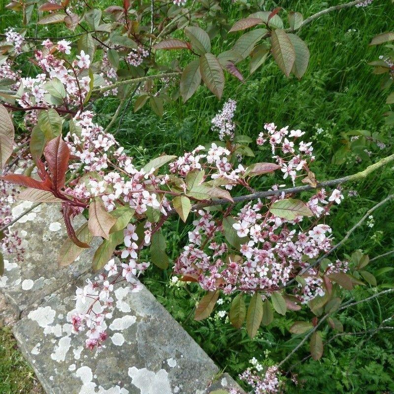 Prunus padus colorata