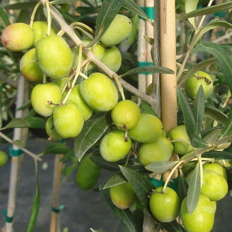 Olivo Manzanilla C 1
