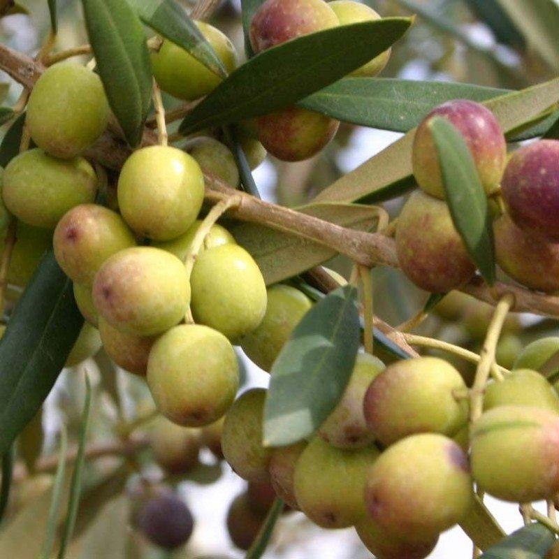 Olivo Arbequina C 1