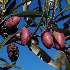 Olivo Cornicabra C 1
