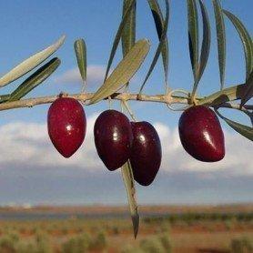 Olivo picual C2