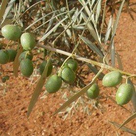 Olivo hojiblanca C1