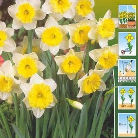 Narcisos Ice Follies 5 ud