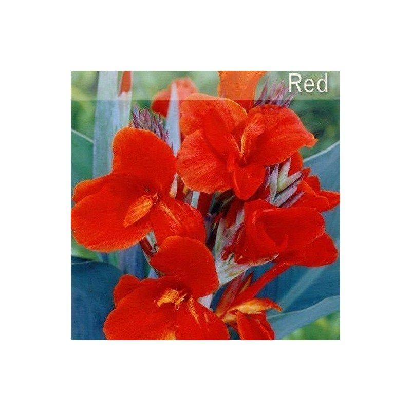 Canna Indica hoja verde rojo 80-100 cm