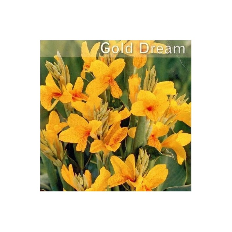 Canna Dwarf Gold Dream