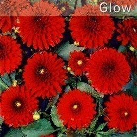 Dalia pompon Glow 1 ud