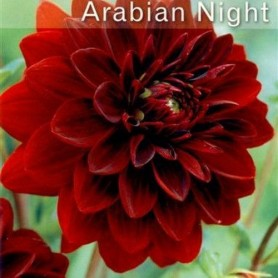Dalia decorativa Arabian Night 1 ud