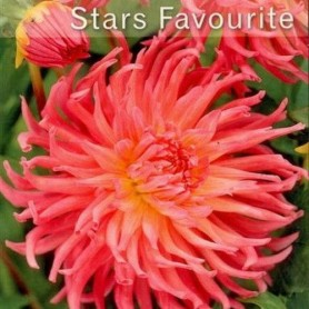 Dalia cactus Stars Favourite 1 ud