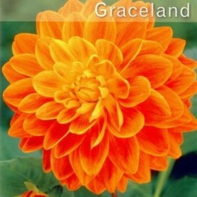 Dalia cecorativa Graceland 1 ud