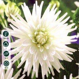 Dalia cactus My love 1 ud