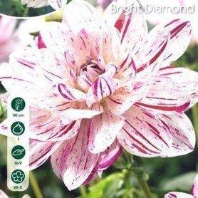 Dalia decorativa Bright Diamond