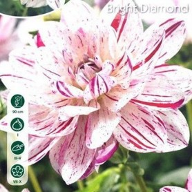 Dalia decorativa Bright Diamond