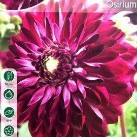 Dalia decorativa Osirium 1 ud