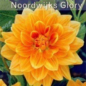 Dalia decorativa Noordwijks Glorie 1ud