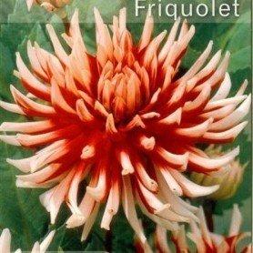 Dalia cactus friquolet 1 ud