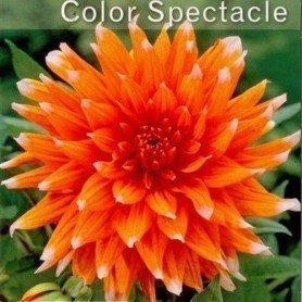 Dalia cactus colour spectacle 1 ud