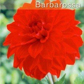 Dalia decorativa Barbarossa