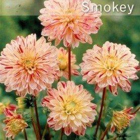 Dalia decorativa smokey 1 ud