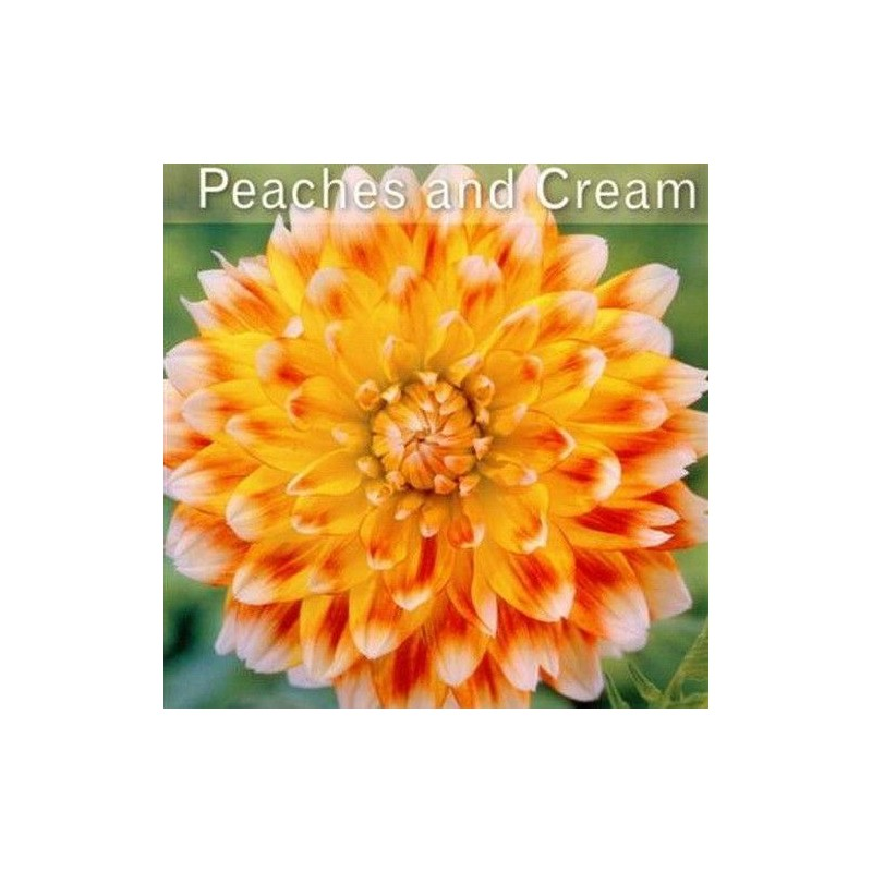 Dalia cecorativa Peaches and Cream 1ud
