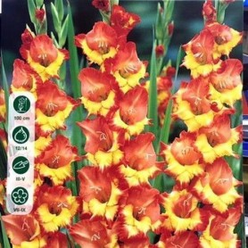 Bulbos de gladiolo Princess Margaret rose 10 ud