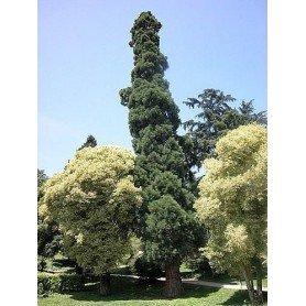 Semillas de Sequoiadendron Gog