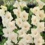 Gladiolo White prosperity 10 ud