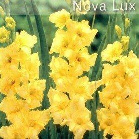 Gladiolo Nova Lux 10 ud