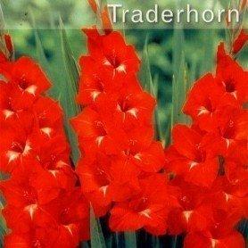 Gladiolo Traderhorn 10 ud