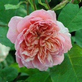 Rosa Anne boleyn