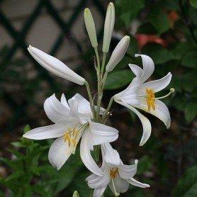 Lilium Candidum azucena 1 ud
