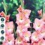 Gladiolo rosa 10 ud